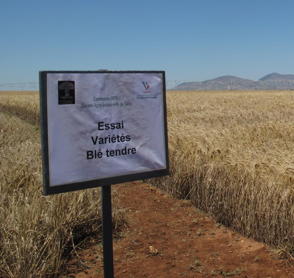 Essai variétal de blé tendre