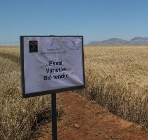Essai variétal de blé tendre installé par l'INRA Meknès dans le domaine de la Société Agro-industrielle du Sais (M'haya)