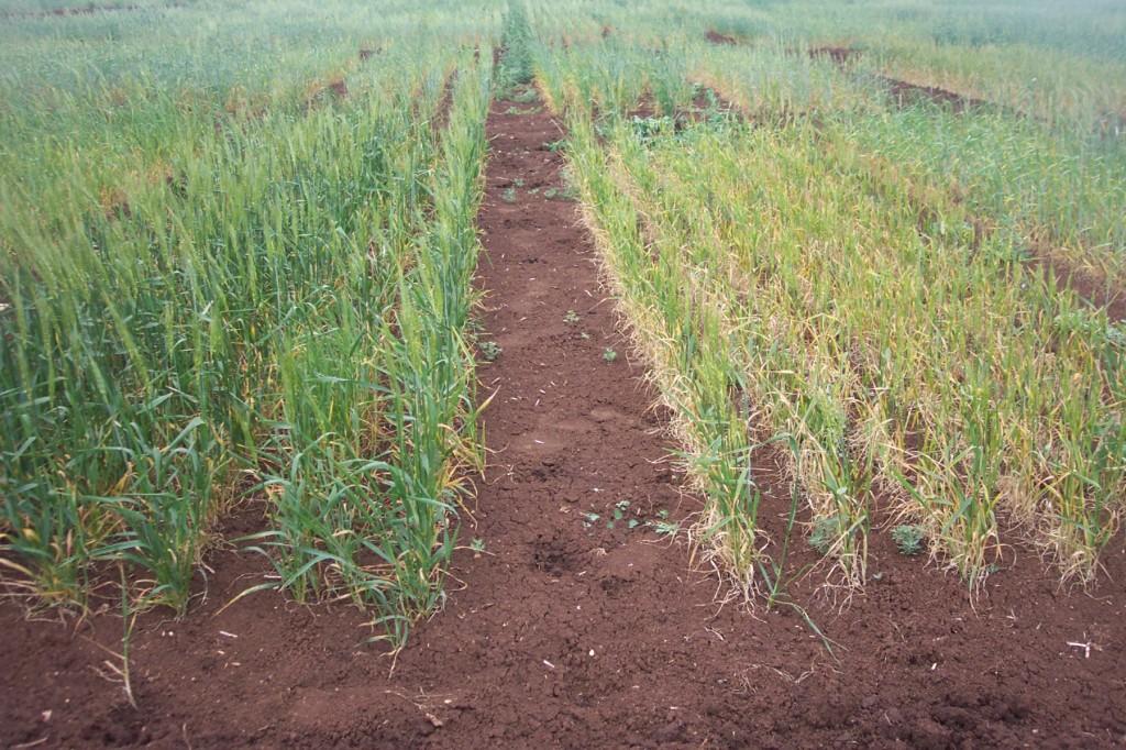 Variétés tolérantes à la sécheresse du milieu du cycle comparées à des variétés sensibles