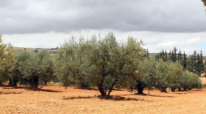Oliviers du Domaine Expérmental d'Ain Taoujdate (INRA Meknès)