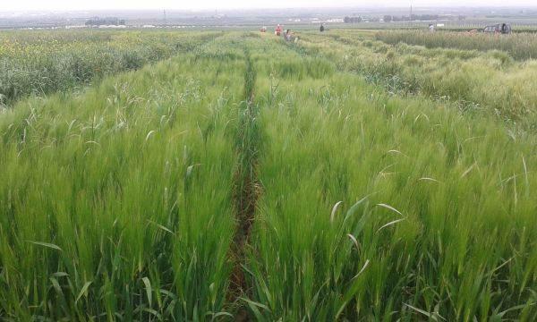 Essais-dévaluation-des-blés-à-Douyet-au-stade-épiaison