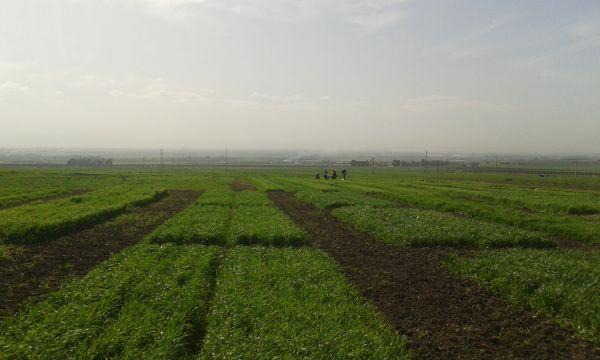 Essais d'évaluation des blés à Douyet au stade tallage