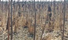 Photo 1 et 2 : Parcelle de tournesol fortement infestée par l'orobanche, en stades de floraison et de maturité, dans la zone de Souk Al Arbaa en 2016