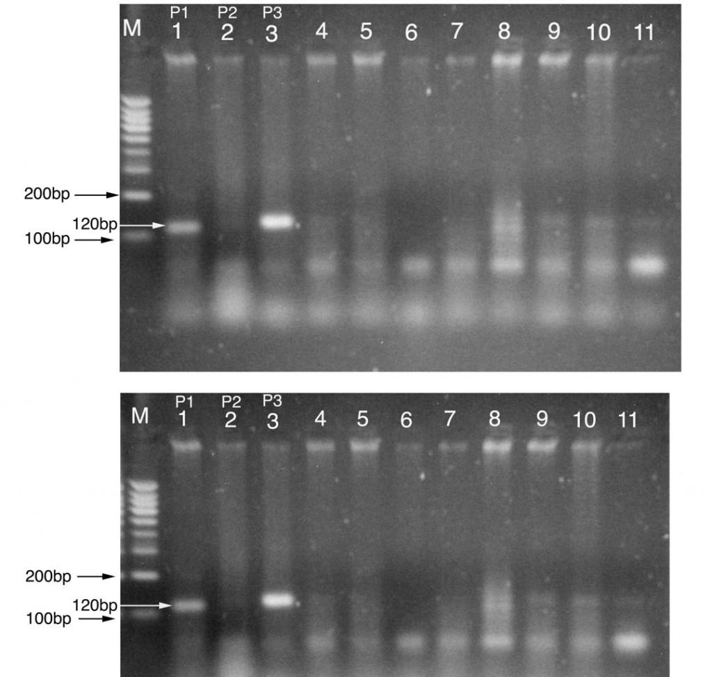 Figure 2 : Exemple des analyses moléculaires par microsatellites pour la confirmation du transfert des gènes de résistance (Ferrahi et al., 2017).