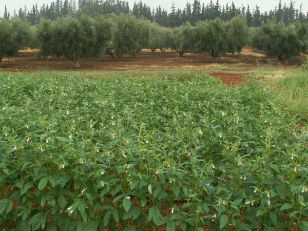 Figure 1. Essai d'évaluation agro-morphologique de sésame au Domaine Expérimental de Aïn Taoujdate, 2014