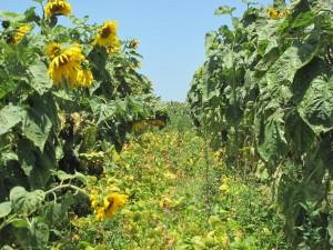 Photo 4B. Exemple d'associations culturales pratiques par les agriculteurs : ''tournesol – haricot''