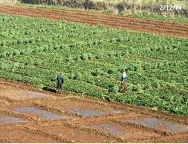 Photo 4A. Exemple d'associations culturales pratiques par les agriculteurs : fève et cultures maraîchères