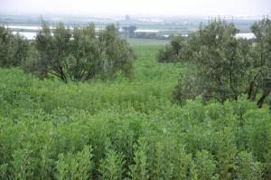 Photo 1A. La fève grâce à sa croissance indéterminée valorise les conditions bonne de disponibilité hydrique que ce soit en pluvial (A) ou en irriguée (B)