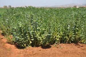Photo 1B. La fève grâce à sa croissance indéterminée valorise les conditions bonne de disponibilité hydrique que ce soit en pluvial (A) ou en irriguée (B)