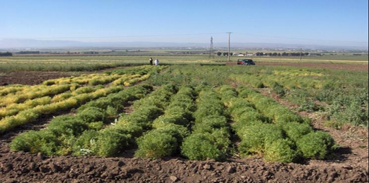 Photo 1.  Vue d'ensemble des essais d'évaluation du rendement d'un ensemble de variétés  INRA de cicer arietinum L. au Domaine expérimental de Douyet