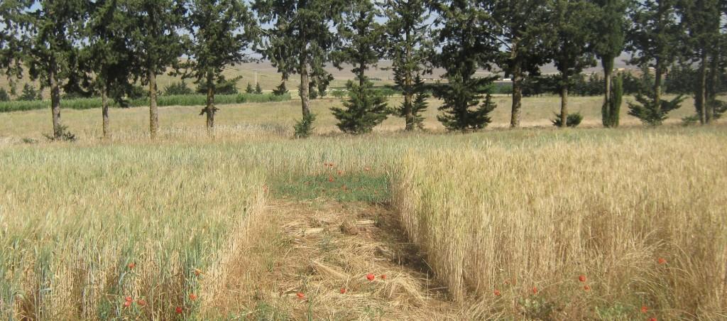 Effet de la date de semis sur le blé tendre à Annonceur 2011-2012