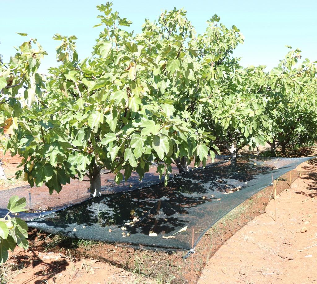 Figure 2. Système de récolte des figues destinées pour le séchage