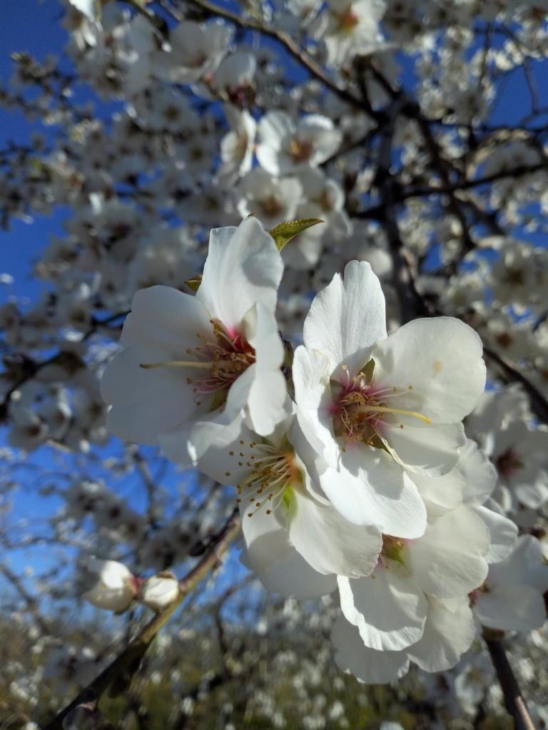 Photo 1 : Photo 1 : Amandier en pleine floraison.