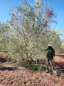 Photo 2 : Défoliation de l'arbre due à la tavelure dans un verger à Ras jerry Meknès