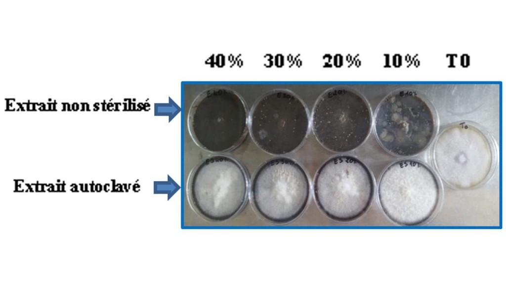 Fig. 2 : Test de biocontrol in vitro via l'utilisation des extraits non stérilisés et stérilisés par autoclavage avec des concentrations de 10, 20, 30 et 40%.