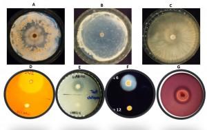 Figure 3: Efficacités antagonistes des souches PGPR contre Fusarium oxysporum f.sp albedinis et leurs activités enzymatiques. A) inhibition partielle de Foa, B) inhibition totale du Foa, C) témoins non-inoculé avec Foa, D) production de cellulase, E) production de chitinase, F) production d'amylase et G) production de protéase. La production des enzymes s'est révélée par la présence d'un halo clair autour des colonies. Les bactéries non-entourées par un halo sont négative pour le caractère recherché. (El kinany, 2020)