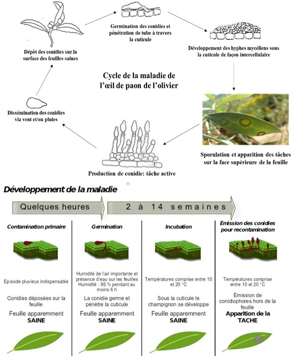 Figure 1 : Cycle biologique et développement de la maladie.
