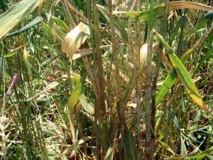 Photo 2 : Rouille noire sur blé tendre au CRRA de Meknès (Mai 2020)