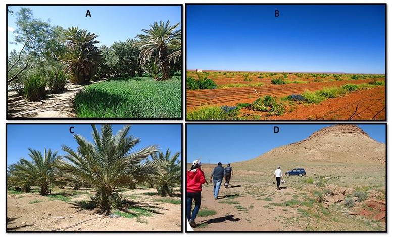 Figure 2: sites d'échantillonnage des sols rhizosphérique utilisés pour l'isolement des bactéries. A) Palmeraie traditionnelle avec des cultures sous-jacentes, B) plantes spontanée dans un nouveau terrain à planter par le palmier dattier, C) Palmeraie moderne du palmier dattier adulte (en production), D) l'équipe de laboratoire lors des prospection et collecte des échantillons du sol rhizosphérique (El kinany, 2020)