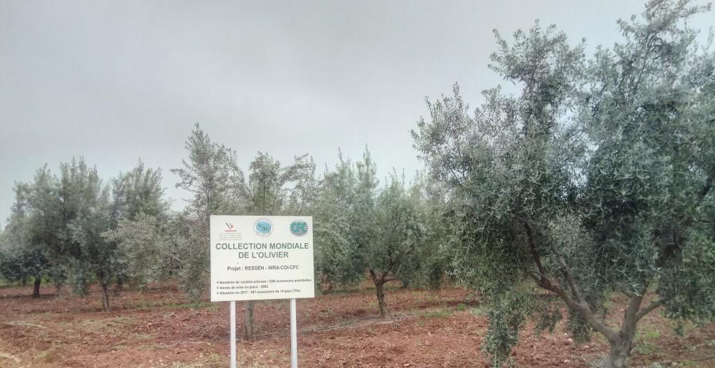 Collection mondiale de l'olivier au Domaine Expérimental de Tassaoute (INRA-CRRA Marrakech)