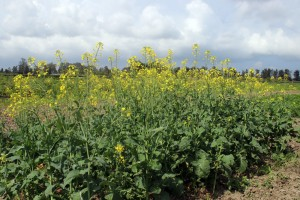 La variété 'Alia' en essai de multiplication de semences au DE. Sidi Allal Tazi (Nabloussi, 2016)