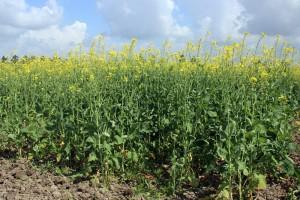La variété 'Baraka' en essai de multiplication de semences au DE. Sidi Allal Tazi (Nabloussi, 2016)