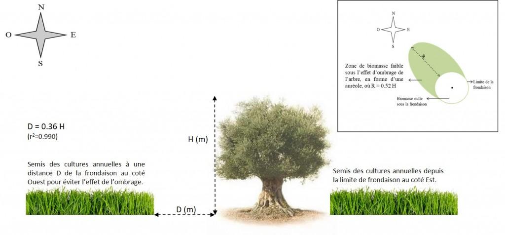 Occupation spatiale optimale en système agroforestier pluvial à base d'olivier pour éviter l'effet d'ombrage des arbres (Razouk et al., 2016)