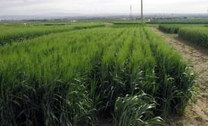 La variété de blé dur 'Gigamor' en essai de multiplication (Ferrahi, 2021)